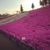 秩父・羊山公園の夕暮れと芝桜のお花見♥