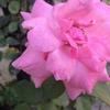 ホームステイ先の庭の花 ネパールの夏の花
