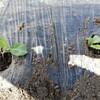 キャベツとレタスを植えました