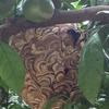 浜松市でミカン畑にできたスズメバチを駆除してきました!