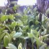 アマドコロが咲くと、もう初夏なのだなあと思うのです