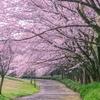 【自宅で!桜のお花見キット】という 日本人の桜好きを考える