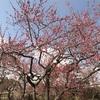ポケモンGO以外もある!【水戸】偕楽園の梅まつり・千波湖の開花状況