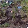 地植えのバラに元肥を撒きました