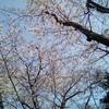 桜が満開、体重も満開?