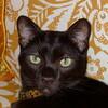 明るく活発! 人気の猫ハバナブラウンの特徴と飼い方