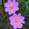 秋の花:コスモス