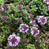 タイム ロンギカウリスの花が咲きました(グランドカバー)