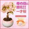 母の日ギフト通販2018おすすめは 遊恵盆栽母の日開花桜 桜盆栽楽天