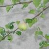 2013/07/02 今年も1個。だけど葉も幹も生育!!リンゴカミキリは見かけない