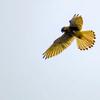 0901【ハヤブサ科の小鳥がセミとトカゲ捕食、ホバリング】カワセミ幼鳥や奇形のカルガモ。スズメが新米食べ放題など。空中セミファイナル【今日撮り野鳥動画まとめ】身近な生き物語