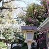 奨学神社の梅が見頃を迎えています