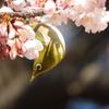 2018年2月20日御苑 寒桜のメジロ