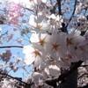 一の坂川:桜
