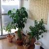 観葉植物の植替