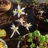 大文字草の花は順調