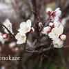 鉢植えのしだれ梅を買う。万年青、ユッカ、雪柳の今。