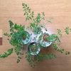 再生栽培2-⑨  グーンと伸びた2月