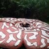 ボルネオ家族旅行・テングザルを探すマングローブクルーズ