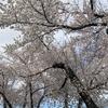 気になっていた桜は恭倹寺さんの桜でした