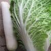白菜、大根収穫