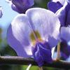 今日の誕生花「フジ」高貴な色の雅の世界の花!