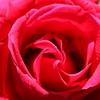 【大阪】大阪市内4か所のバラ園まとめ・バラの見頃は初夏と秋