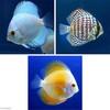 (熱帯魚)ダイヤモンド・ディスカス3種 Aセット(Sサイズ)(各種1匹) 北海道航空便要保温 沖縄別途送料