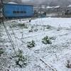 雪中ゴボウ