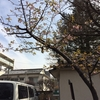 「文京区の河津桜」