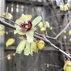 ロウバイ花盛り