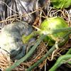 スイカ初収穫