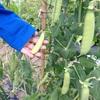 エンドウ収穫、田植