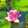 池の睡蓮の花の写真館