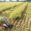 稲刈り、二日目