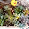 多肉植物の花、餡バタートースト