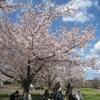 【千葉旅行】成田空港さくらの山でお花見してきた