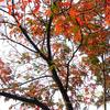 紅葉の明治神宮