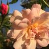 猛暑の中健気に咲く薔薇たち🌹