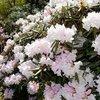 シャクナゲ、3万5千株咲き誇る 南小国町