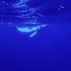 【タヒチ】 rurutu(ルルツ島)でクジラと泳ぐ