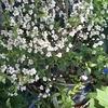 ニワウメ、花壇、葉もの収穫