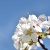 「匂桜を撮りに行こう♪」_撮影特訓編