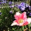 咲き乱れる花壇。グロ美しい大輪チューリップ。4月の緑道