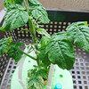チャレンジ5月号トマト栽培セット 脇芽をカットしました…でも、元気がなくて心配です。