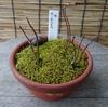 モミジと苔の鉢一月下旬