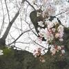 週末の桜並木は賑やか 谷中の桜開花状況 4月1日(土)