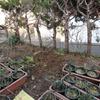2013/01/30 ハマナスを地植えにした
