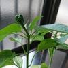 パプリカの鉢植え 実がなってきた~