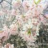 京都市内のお花見スポット③ 2019年の見頃は?遅咲きの桜を楽しむ!御室桜の秘密!?